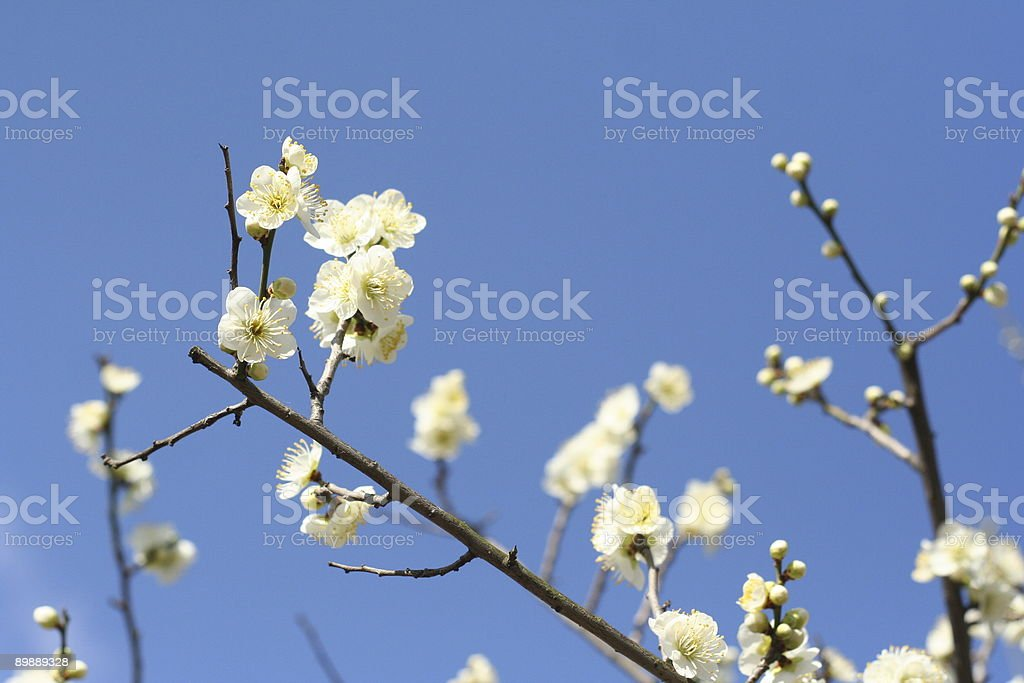 Plum Tree royalty-free stock photo