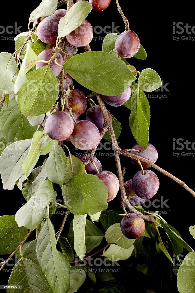 Pflaume tree Lizenzfreies stock-foto