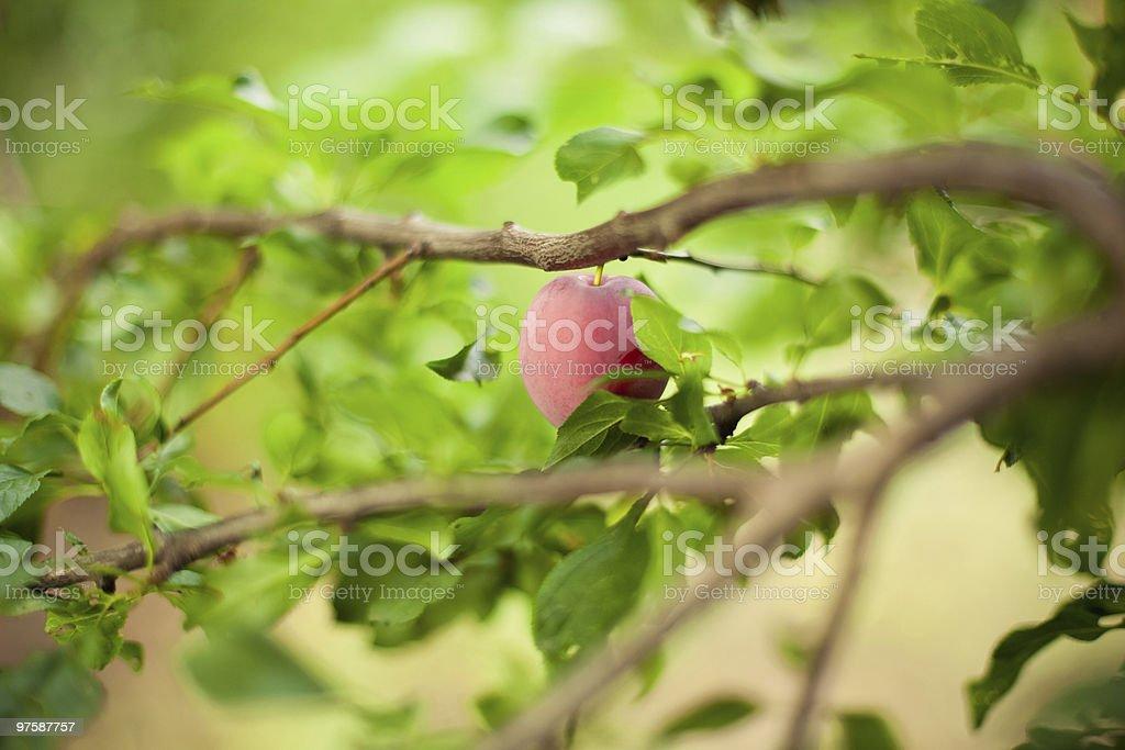 Plum Tree photo libre de droits