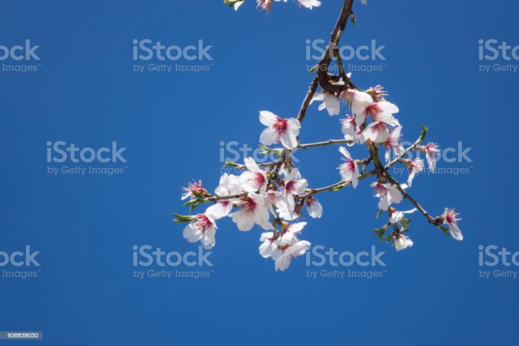 Árvore de ameixa com flores de frutas em céu azul - foto de acervo