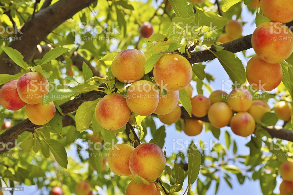 Plum tree with fruits royalty-free stock photo