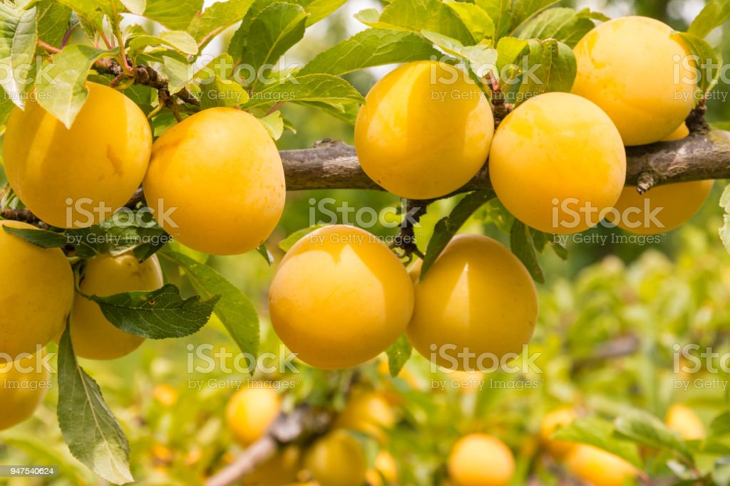 árvore de ameixa com ameixas maduras amarelas - foto de acervo