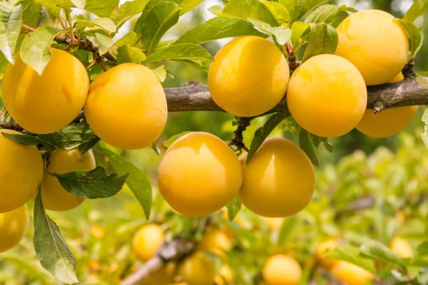 prunier avec des prunes jaunes mûrs - mirabelle photos et images de collection