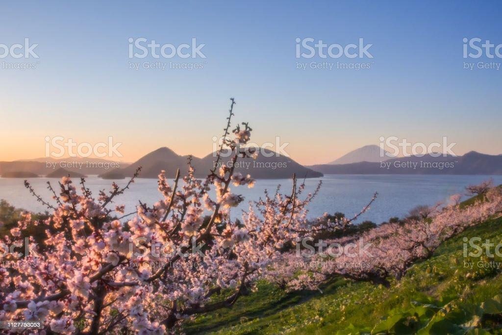 梅の木は、北海道洞爺湖。 ストックフォト