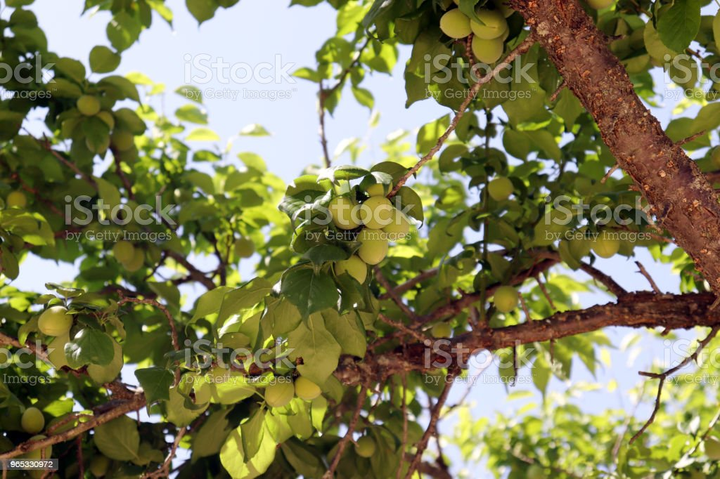 Plum trees full of May blue sky and berries. royalty-free stock photo