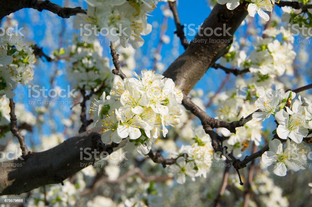Plum trees in blossom in orchard in spring photo libre de droits