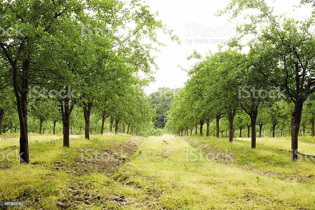 Plum trees orchard stock photo