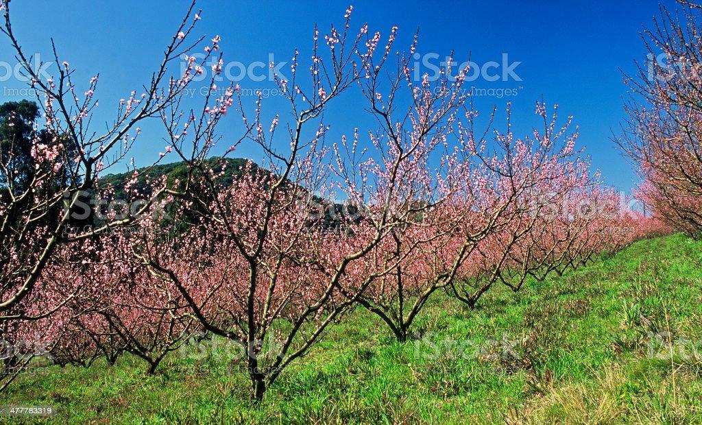 Plum Trees royalty-free stock photo