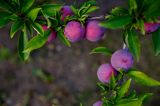 plum with growing on a tree with green leaves on a brown background on a farm