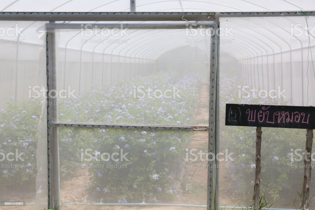 Plumbago auriculata Plant nursery (common names blue plumbago, Cape plumbago or Cape leadwort) stock photo