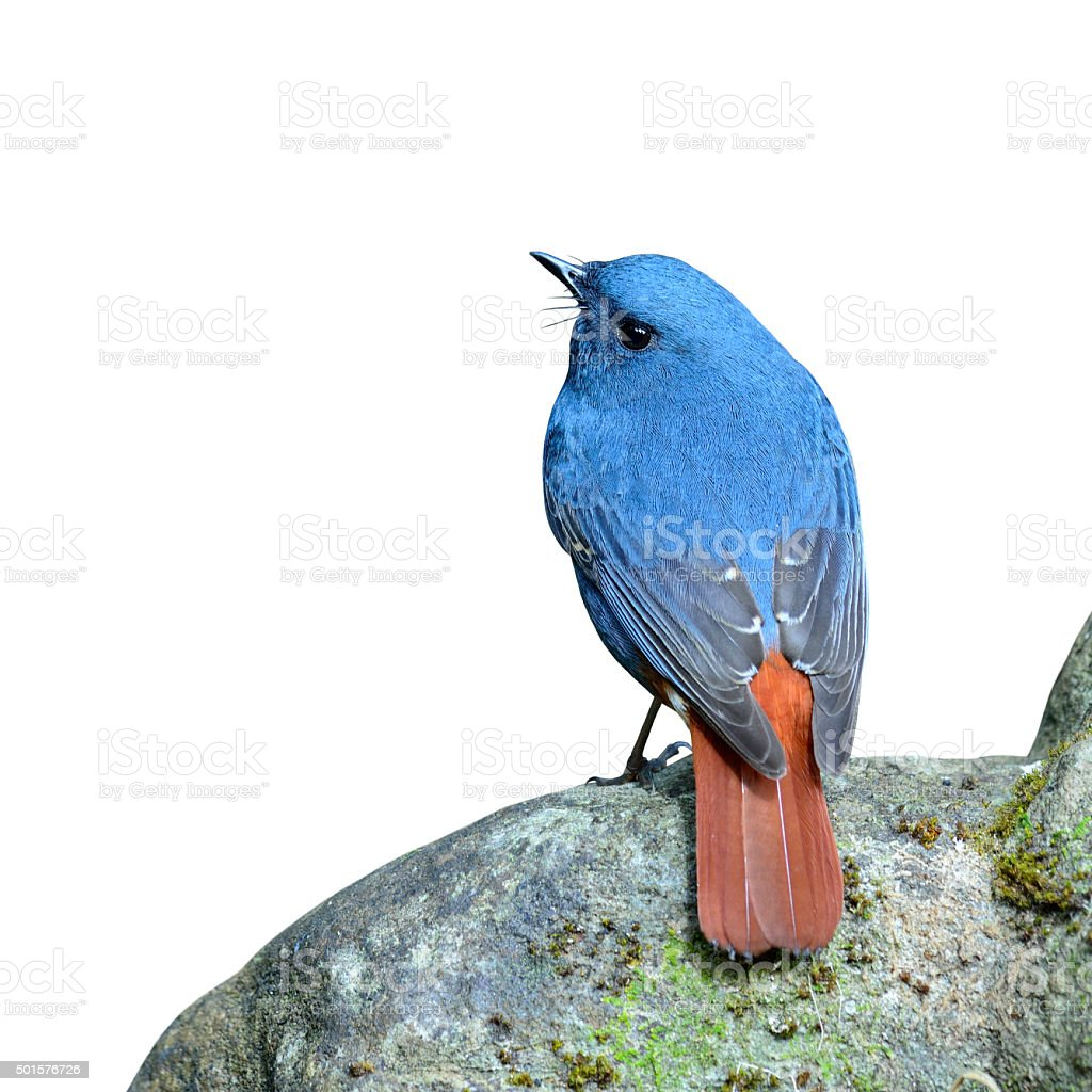 Plumbeous Water Redstart, the beautiful blue bird standing on th stock photo