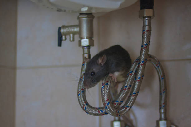 plumbing concept. decorative black mouse on water plumbing concept. decorative black mouse on water heater pipes. rat home. symbol of the Chinese new year 2020. vertical orientation of the sheet rodent stock pictures, royalty-free photos & images