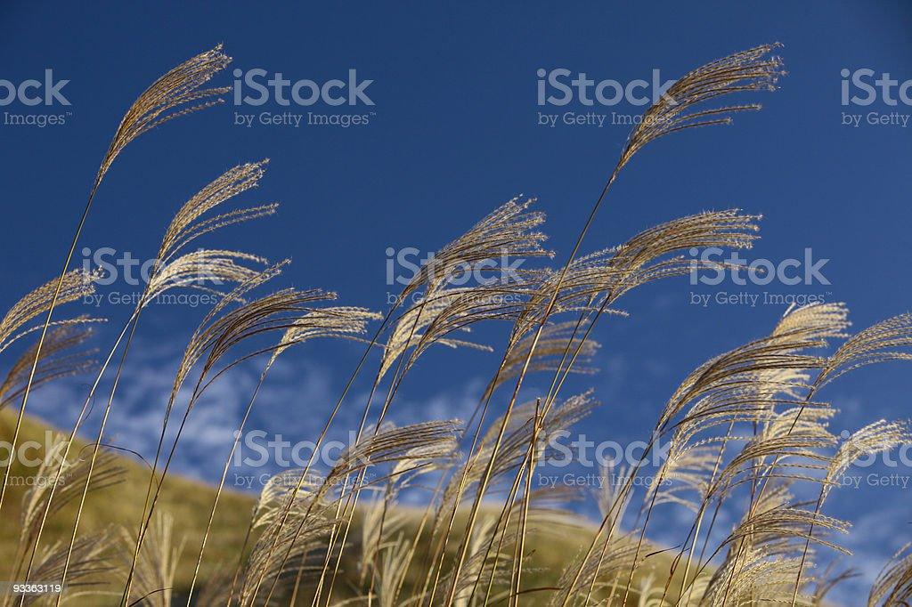 Plume Grass stock photo
