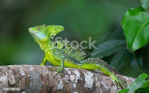 Plumed Basilisk, Basiliscus plumifrons, Tortuguera National Park, Costa Rica