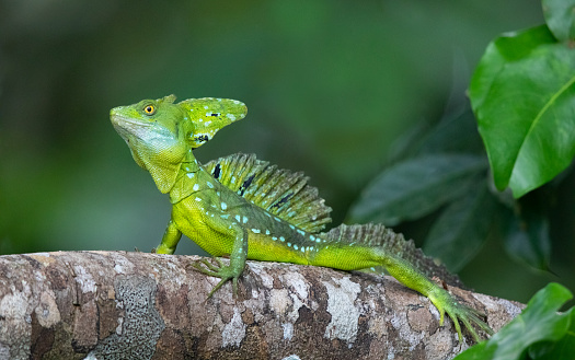 Plumed Basilisk Lizard Basking in the Costa Rica Rainforest