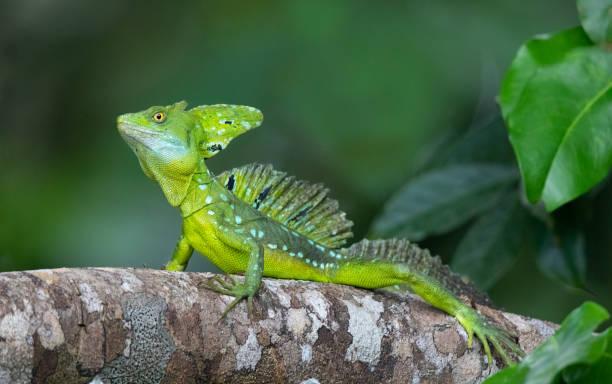 Plumed Basilisk Lizard Basking in the Costa Rica Rainforest stock photo