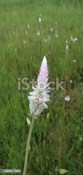Plumed Cockscomb Blossom Or Celosia Argentea Stock Photo   Image of assorted   australia