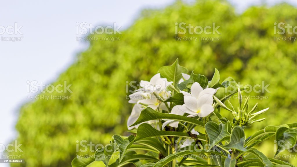 Plumeria a beautiful tropical flowers with green leaves on blur background. stock photo