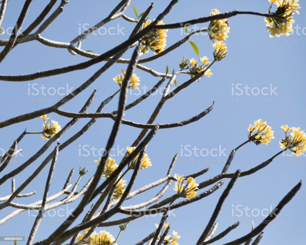 Plumeria Alba stock photo