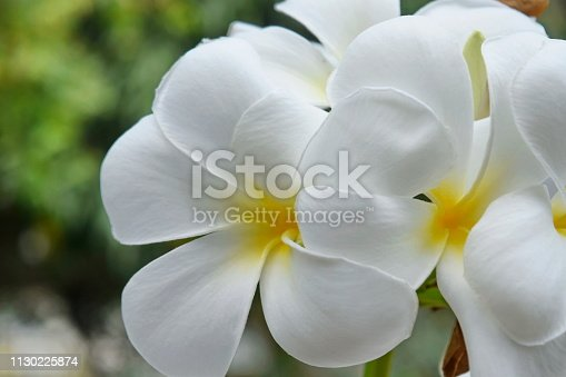 istock Plumeria and white leaves on the tree. 1130225874