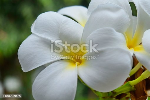 istock Plumeria and white leaves on the tree. 1130225875