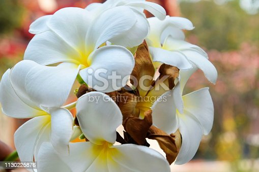 istock Plumeria and white leaves on the tree. 1130225876