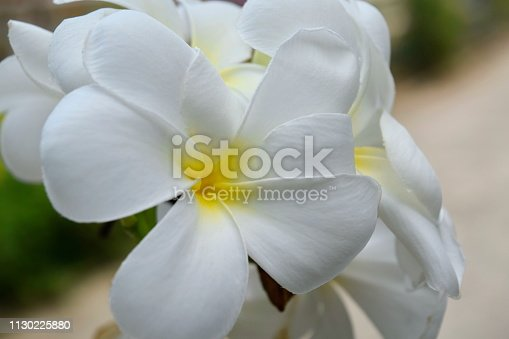 istock Plumeria and white leaves on the tree. 1130225880