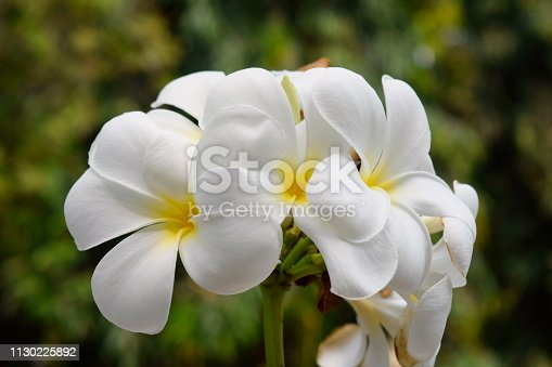 istock Plumeria and white leaves on the tree. 1130225892