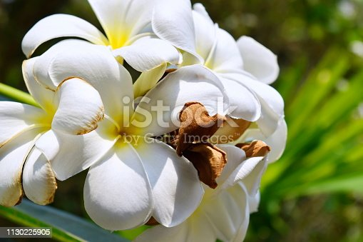 istock Plumeria and white leaves on the tree. 1130225905