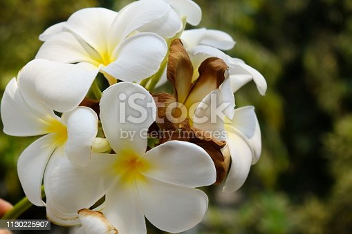 istock Plumeria and white leaves on the tree. 1130225907