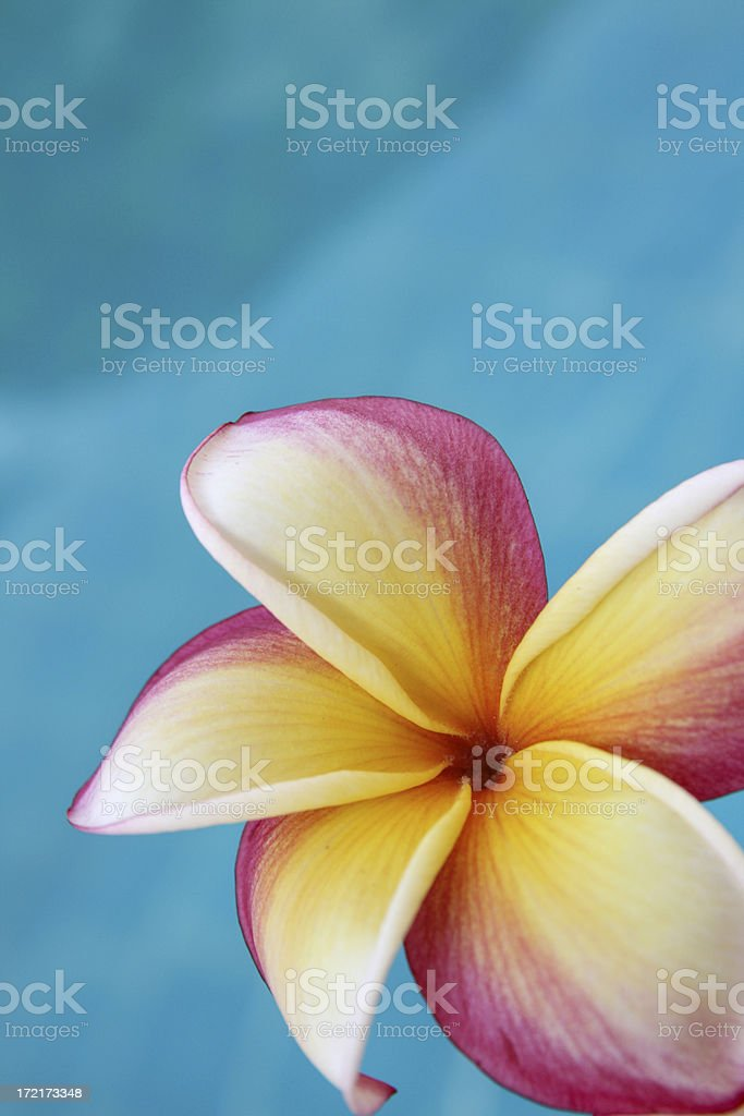 Plumeria close up,poolside royalty-free stock photo