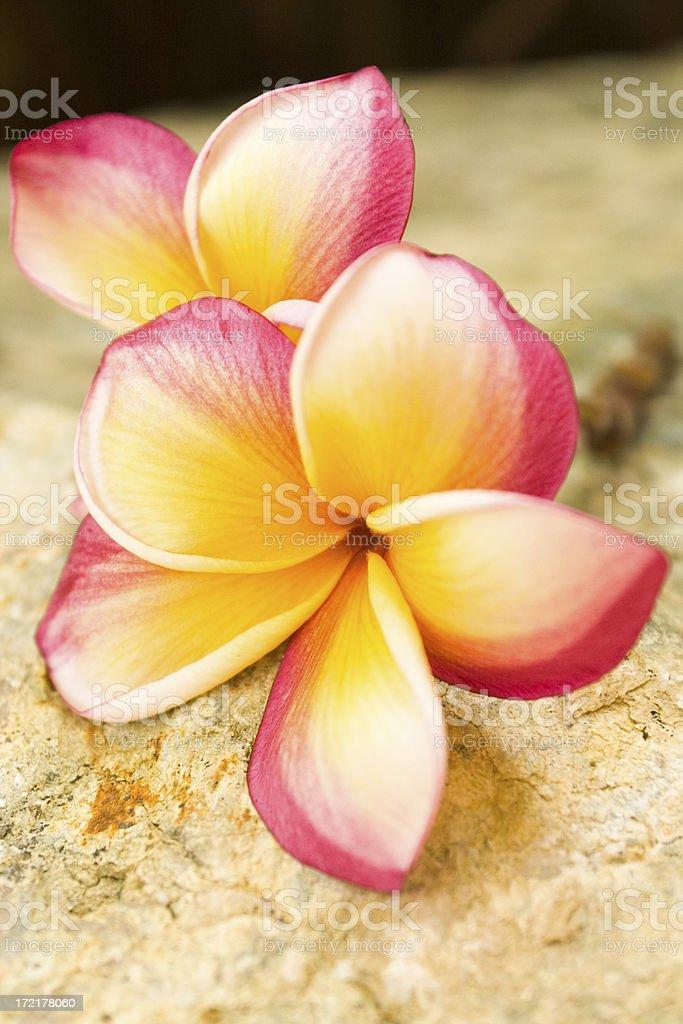Plumeria close up,sitting on the rocks royalty-free stock photo