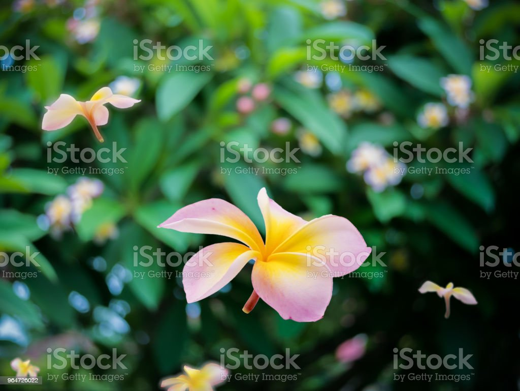 Plumeria fall background out focus royalty-free stock photo