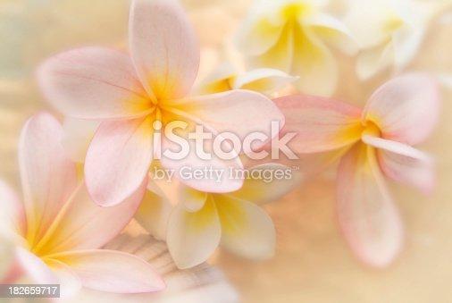 soft plumeria { frngipani ) cluster