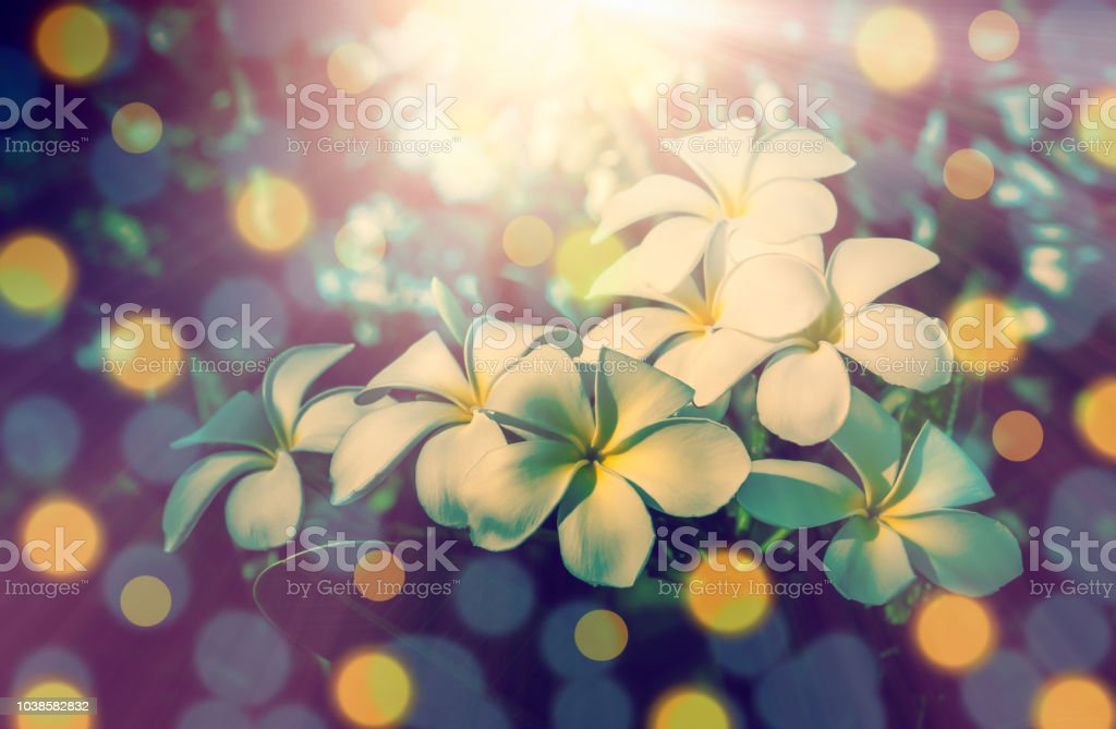 Plumeria flower blooming  spring  nature background stock photo