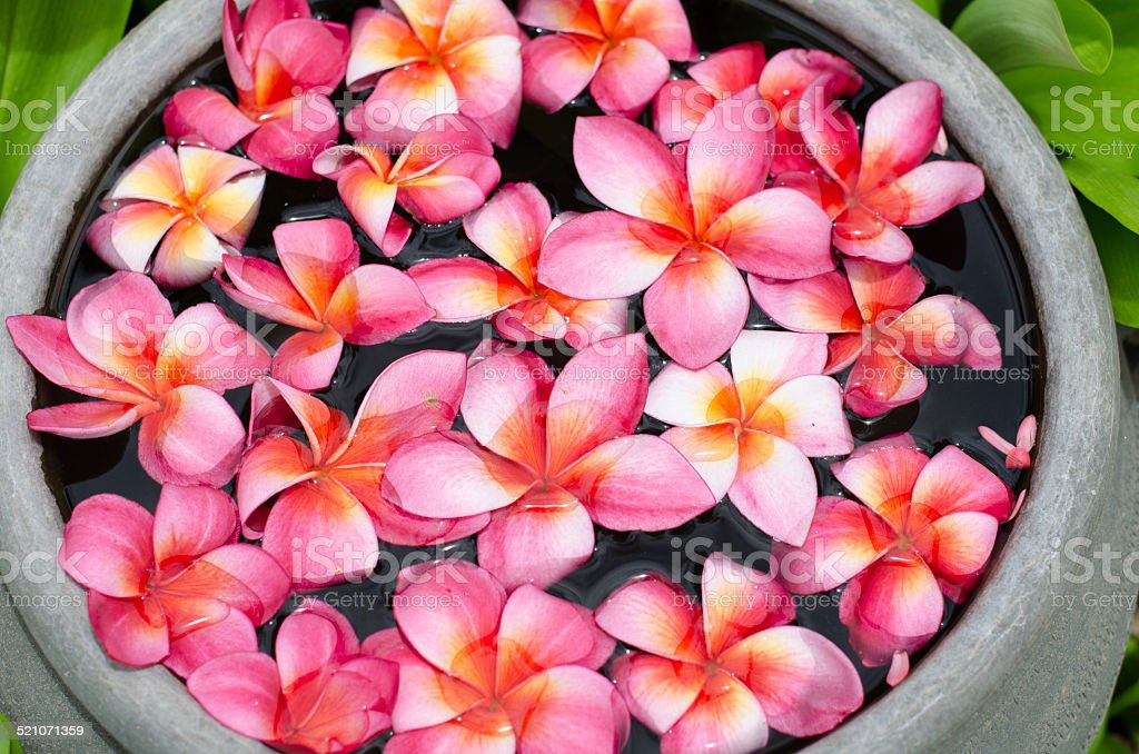 Plumeria flower floating on water in the garden. stock photo