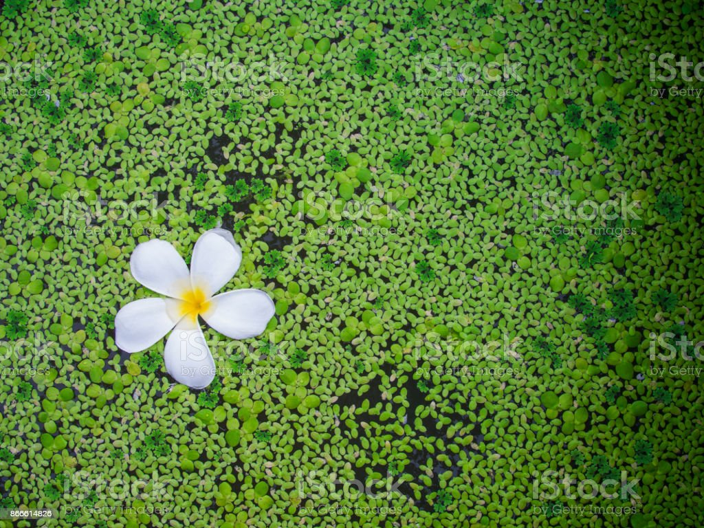 Plumeria Flower in a Pond Filled with Duckweed stock photo