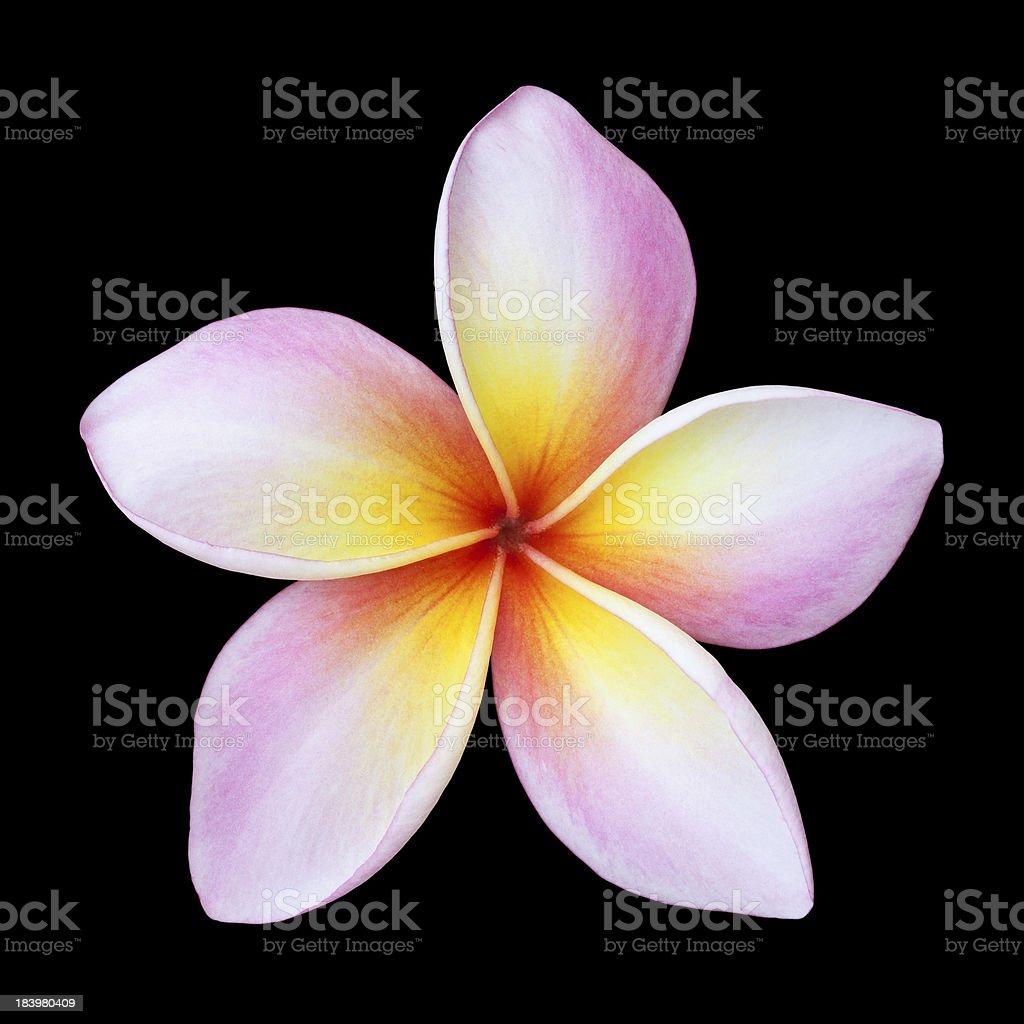 Plumeria flower isolated on black royalty-free stock photo