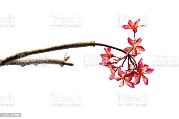 Plumeria flower isolated on white background picture id1127247057?b=1&k=6&m=1127247057&s=612x612&h=vkqobnszzmenry9akxiizwt2va4dcqgsfyurc b3gn8=