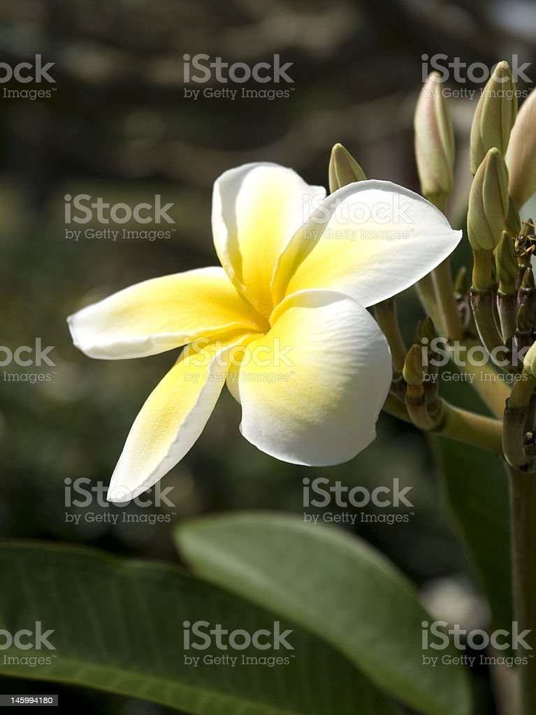 Plumeria Flower royalty-free stock photo