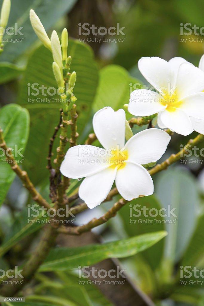 Plumeria, flower stock photo