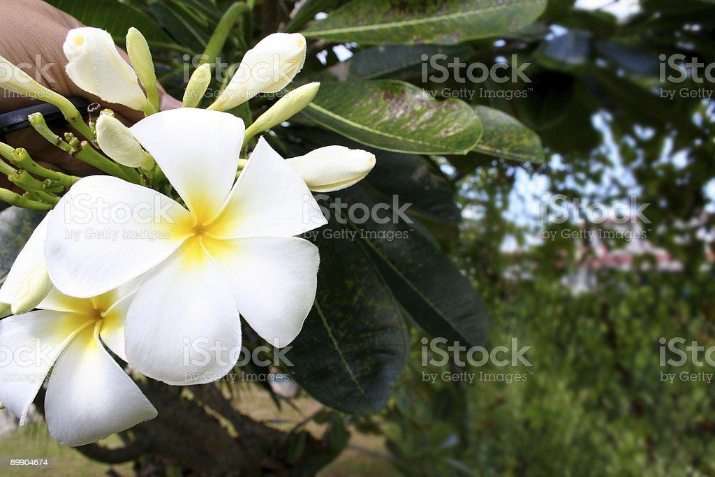 Plumeria цветок Стоковые фото Стоковая фотография