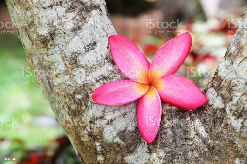 plumeria flower pink selective focus or desert rose beautiful on the tree stock photo