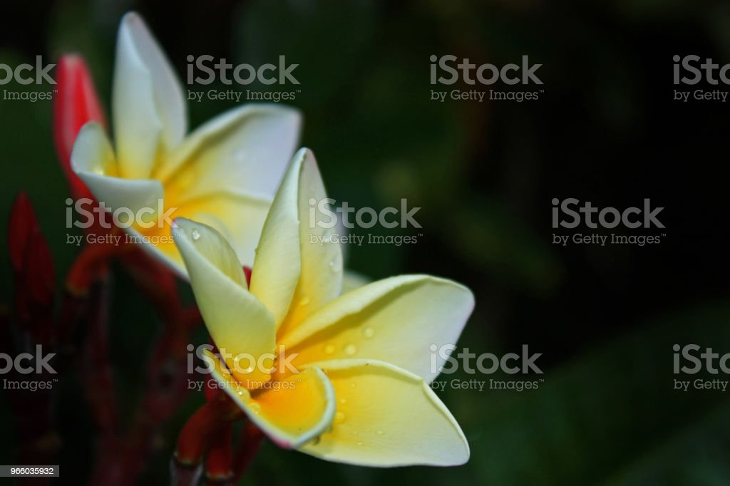 Plumeria flower white and yellow color on blur green leaves and black background. Plumeria in garden - Royalty-free Amarelo Foto de stock