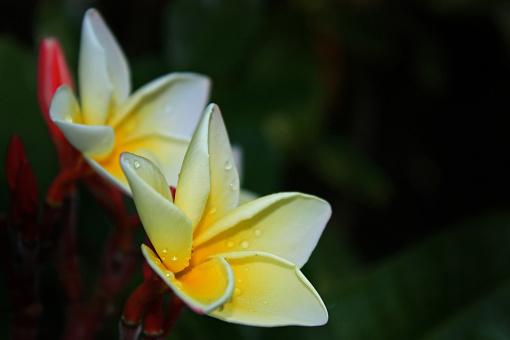 Plumeria Bloem Witte En Gele Kleur Op Vervagen Groene Bladeren En Een Zwarte Achtergrond Plumeria In Tuin Stockfoto en meer beelden van Beschrijvende kleur