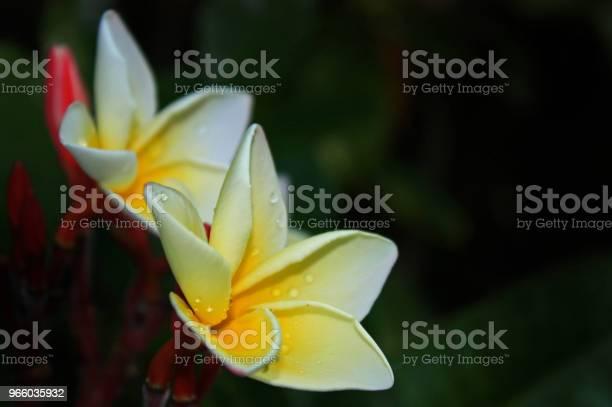 Plumeria Weiße Und Gelbe Blütenfarbe Auf Blur Grünen Blättern Und Schwarzen Hintergrund Plumeria Im Garten Stockfoto und mehr Bilder von Baum