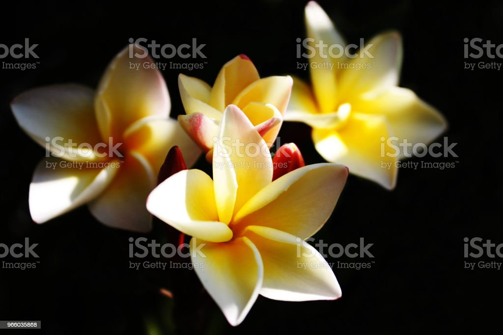 Plumeria flower white and yellow color with black background - Royalty-free Beauty Stock Photo