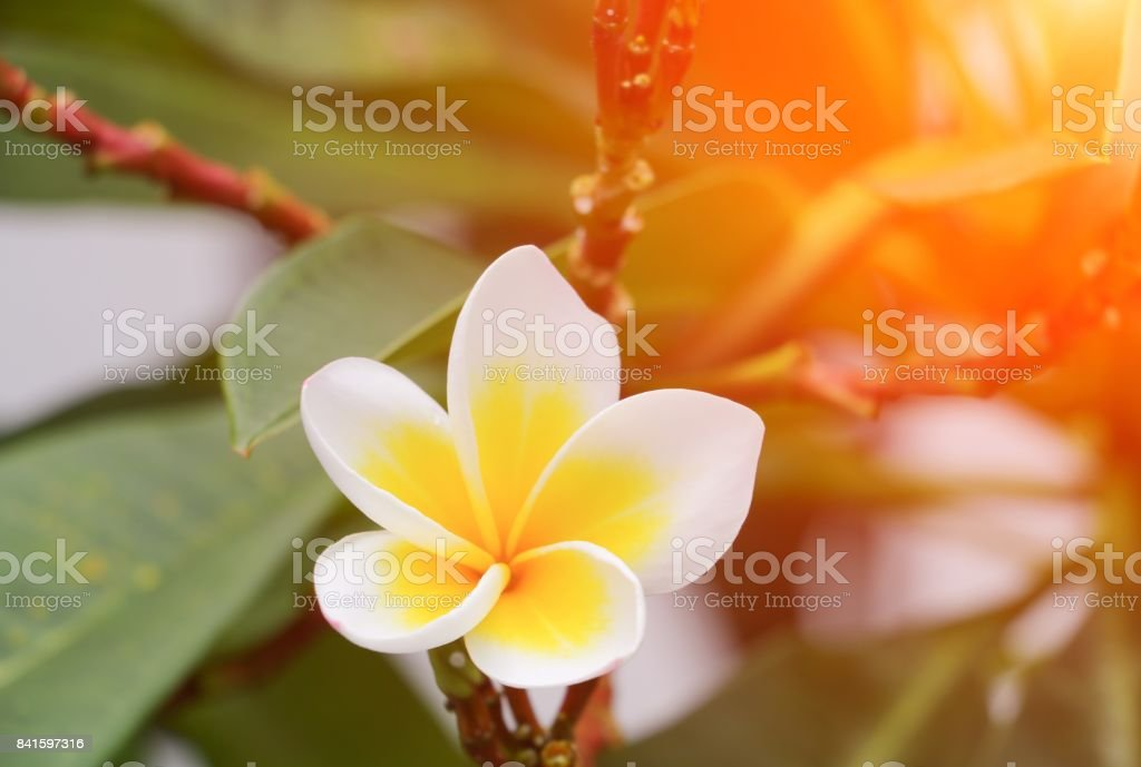 plumeria flower white desert rose  beautiful on the tree  with sunset light tone stock photo