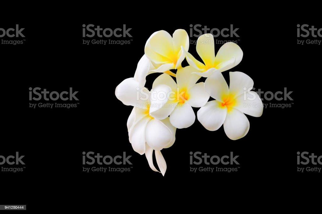 Plumeria flower white yellow beautiful isolated on black background plumeria flower white yellow beautiful isolated on black background common name pocynaceae frangipani mightylinksfo
