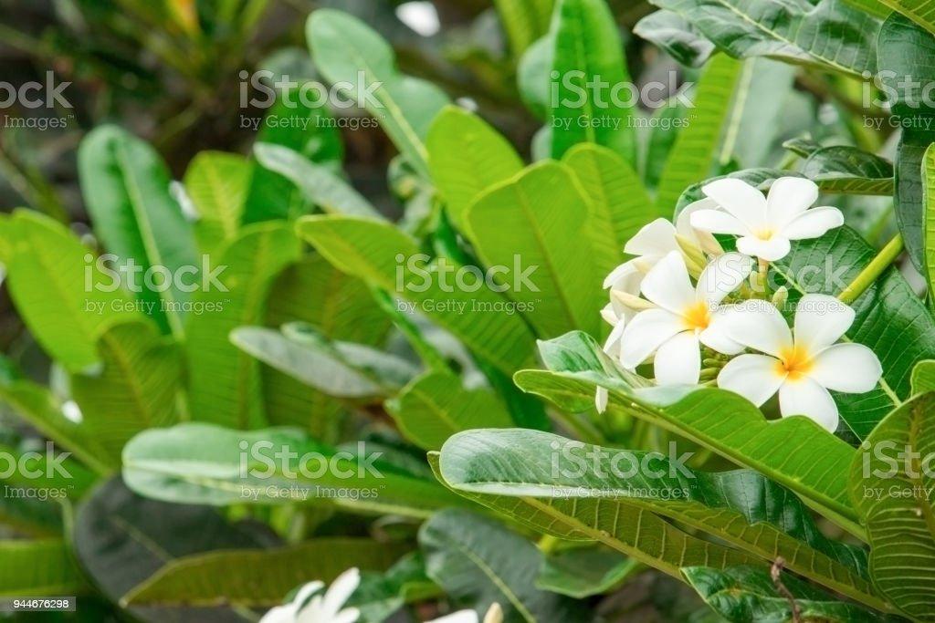 Plumeria flower white yellow on tree stock photo more pictures of plumeria flower white yellow on tree common name pocynaceae frangipani pagoda tree mightylinksfo